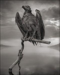 Calcified Fish Eagle.jpeg