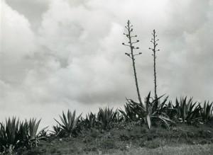 """Alfred Ehrhardt, Agaven mit zwei sechs Meter hohen Blüten-""""Stengeln"""", 1951, © bpk : Alfred Ehrhardt Stiftung.jpg"""
