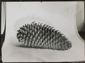 Tannzapfen, um 193132.jpg