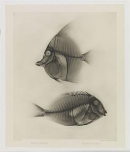 X Ray of Angelfish & Surgeonfish, 1896, Eduard Valenta & Josef Maria Eder ∏ National Media Museum, Bradford  SSPL.jpg