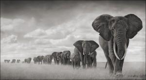 Elephants Walkng Through Grass 18inW.jpg