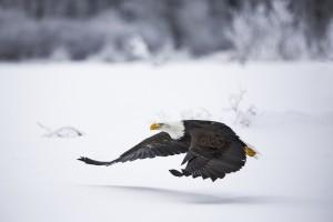 Bald Eagle-Haines, Alaska, USA. ©Michel Rawicki Rawicki.JPG