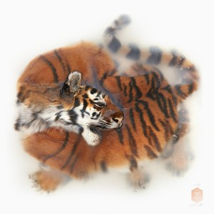 02_DSvT-Unknown Pose by Amur Tiger.jpg