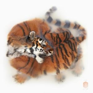 02_DSvT-Unknown Pose by Amur Tiger.jpg