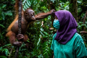 Kemal Jufri-Story Nature & Environment First Prize-Nurturing Orphaned Orangutans.jpg