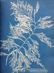 1_Photographs of British Algae by Anna Atkins. Image courtesy of the Horniman Museum and Gardens (3).jpg