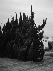 04-murder-cedar-hedge.jpg
