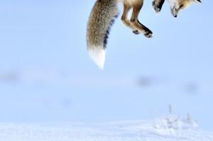 048_Richard Peters (UK)-Snow pounce.jpg