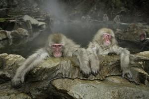 Maekawa, Japanese Monkey, Jigokudani Japan, November, 2003.jpg