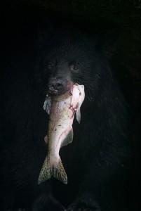 Maekawa, American Black Bear, Anan Creek, Alaska, August, 2002.jpg