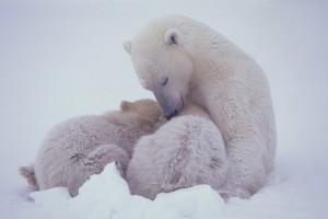 Maekawa, Polar Bear, Churchill, Canada, November, 2000.jpg