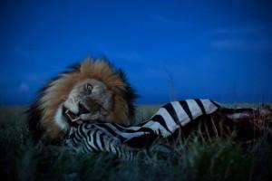 Nichols-Lions_001.jpg